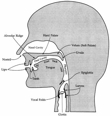 A diagram of the vocal tract
